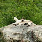 Goats by jojojem