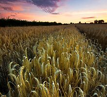 Barley by Thomas Harvey