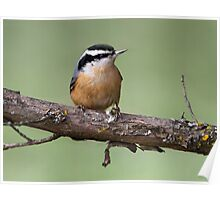 Nuts / Red-Breasted Nuthatch Poster