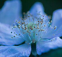 Glowing Blackberry Flower by Morgan Wright