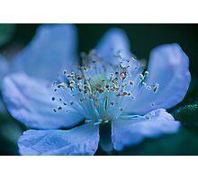 Glowing Blackberry Flower Photographic Print
