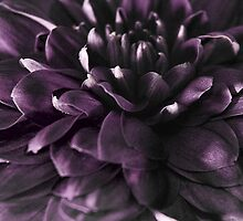 chrysanthemum by versutia