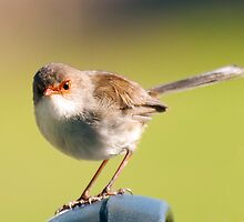 Superb Fairywren (female) by DavidsArt