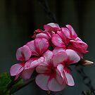Geraniums make a pretty show.................! by Roy  Massicks