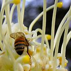 Honey Bee on Grevillea by Michelle Ricketts