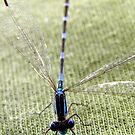 Common Bluetail Damselfly by Michelle Ricketts