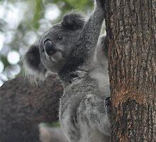 Koala by Olivia Johnston