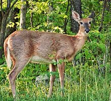 White Tail Doe by James Brotherton