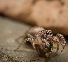 (Servaea vestita) Jumping Spider Feeding by Kerrod Sulter