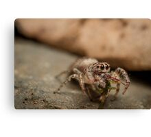 (Servaea vestita) Jumping Spider Feeding Canvas Print