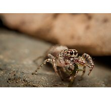 (Servaea vestita) Jumping Spider Feeding Photographic Print
