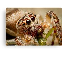 (Servaea vestita) Jumping Spider Feeding #2 Canvas Print