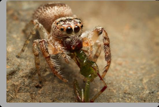 (Servaea vestita) Jumping Spider Feeding #3 by Kerrod Sulter