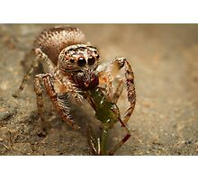 (Servaea vestita) Jumping Spider Feeding #3 Photographic Print