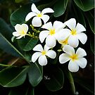 Broome Frangipanis by Kell Jeater