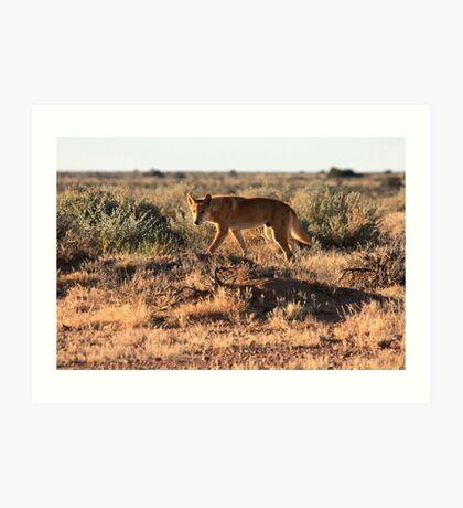 Dingo, Australia Art Print