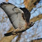 Redtail Hawk on the Hunt by Thomas Mckibben