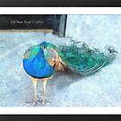 Eye-Pleasing Peacock by Deb  Badt-Covell
