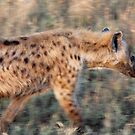 Spotted Hyena (Crocuta crocuta) on the prowl by Hannah Nicholas