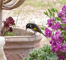New Holland Honeyeater watching ants in the Pot. Adelaide Hills. by Rita Blom