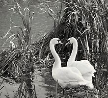 Swans I Love You by Darren Burroughs