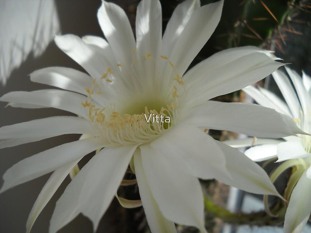 Kaktus Flowers. by Vitta