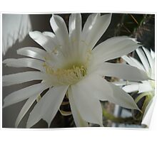 Kaktus Flowers. Poster