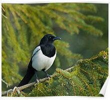 Magpie in Tree Poster