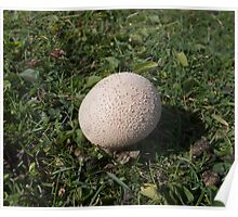 Puffball Fungus Poster