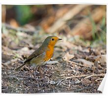 Robin in Woodland Poster