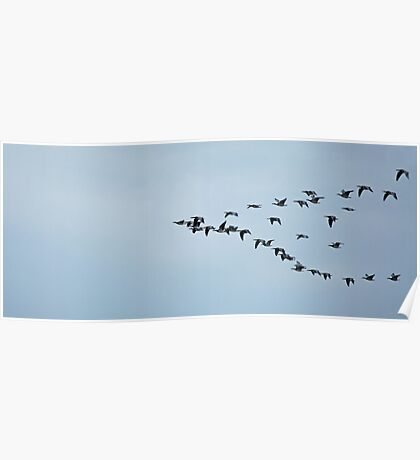 Barnacle Geese Flying to Roost Poster