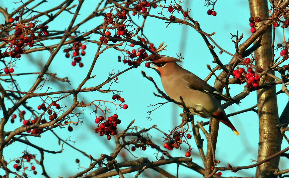 Waxwing (Bombycilla garrulus) feeding on berries - Warrington by Chris Monks
