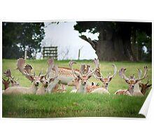 deer of Woburn abbey  Poster
