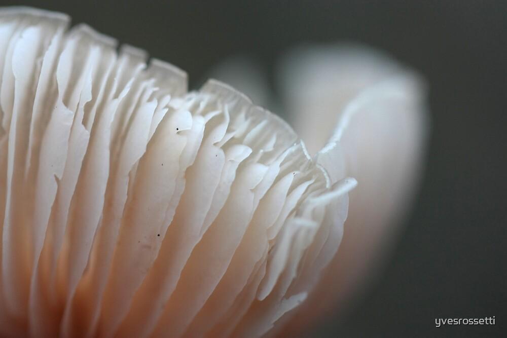 gilly flower by yvesrossetti