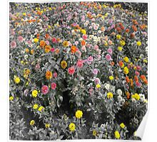 Flower in garden outdoor of home at adorn to color show Poster