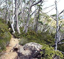 snow gums along the track by possumhollow