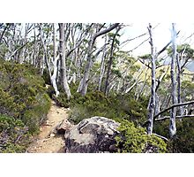 snow gums along the track Photographic Print