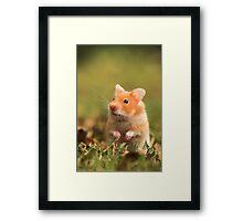 golden hamster pet Framed Print