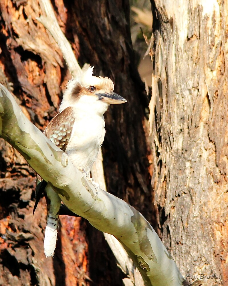 Kookaburra  trying to hide in the gum tree by Kym Bradley