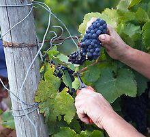 grape harvest by Carine LUTT
