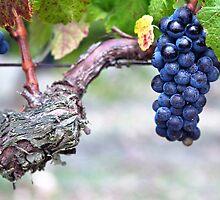 black grape of 'pinot noir' by Carine LUTT