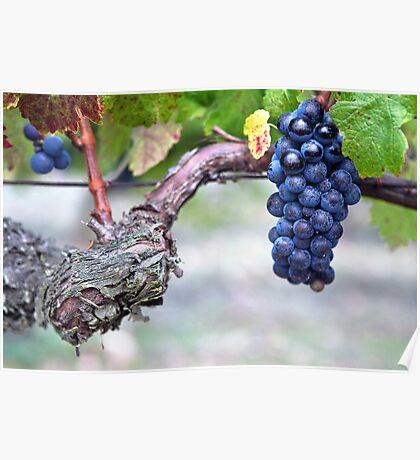 black grape of 'pinot noir' Poster