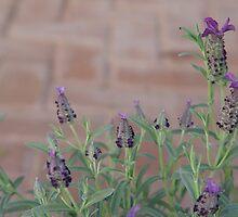 Lavender by Annabella