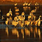 Bosque Del Apache Sandhill Cranes Golden Light by Bob Christopher