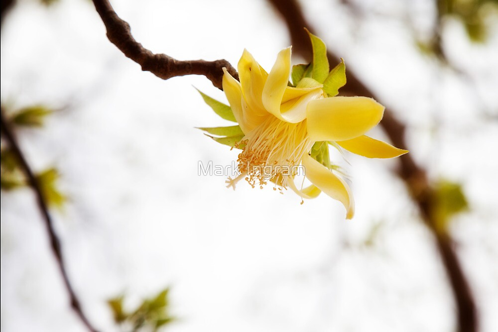 Boab Flower by Mark Ingram