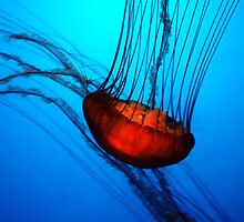 """""""Sea Nettle"""" by Alexander Isaias"""