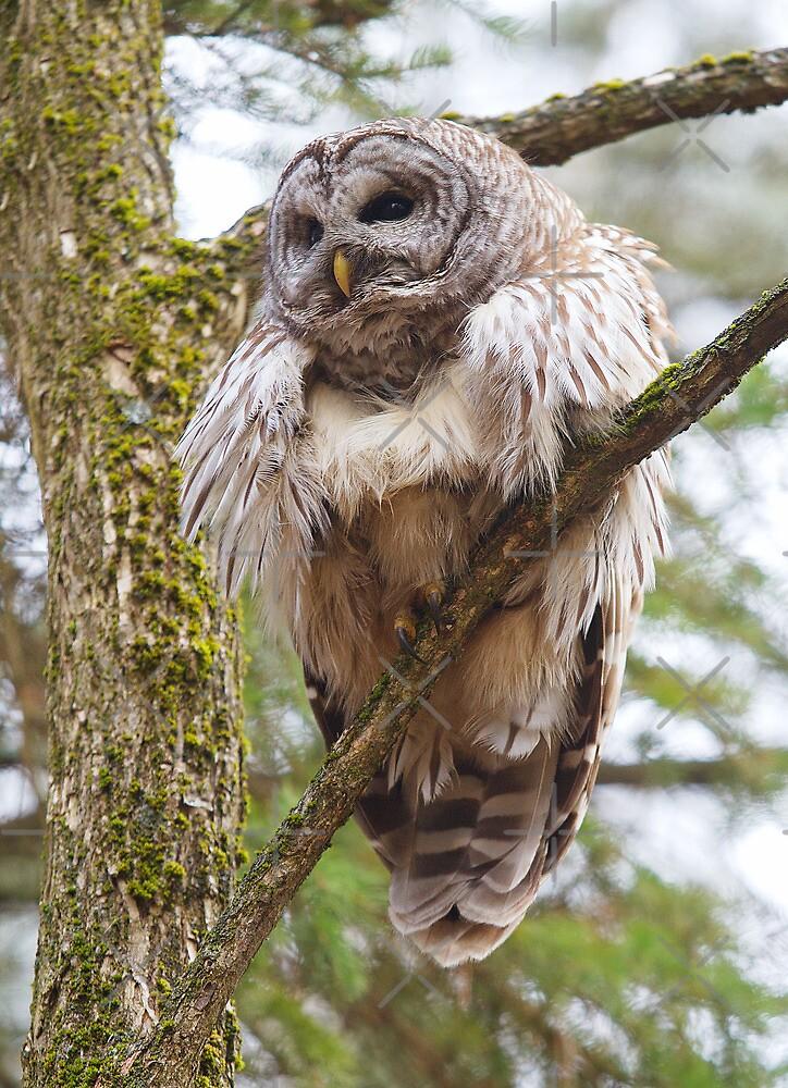 Cool Owl by Jim Cumming