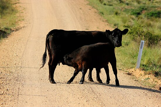 Stopping Traffic,  Calf  by Kym Bradley