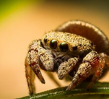 (Simaethula ZZ483) Jumping Spider by Kerrod Sulter
