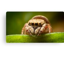 (Simaethula ZZ483) Jumping Spider #2 Canvas Print